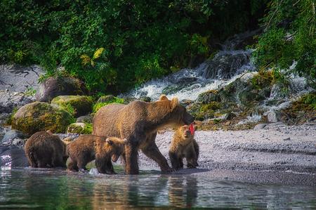Photo pour Kamchatka brown bear female and bear cubs catch fish on the Kuril lake. Kamchatka Krai, Russia. - image libre de droit