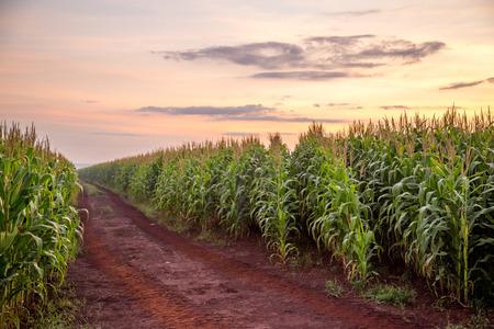 Foto de Corn Plantation - Imagen libre de derechos