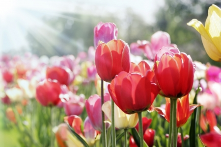 Photo for colorful tulips in the spring sun - Royalty Free Image