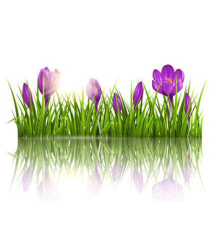 Illustration pour Green grass lawn, violet crocuses and sunrise with reflection on white. Floral nature spring background - image libre de droit
