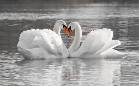Photo for Romantic swan couple in love - Royalty Free Image