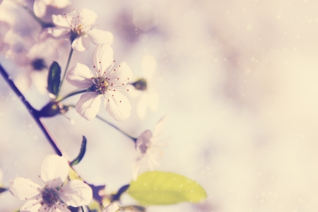 Spring cherry blossoms on a sunny day