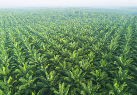 Photo pour Arial view of palm plantation at east asia. - image libre de droit