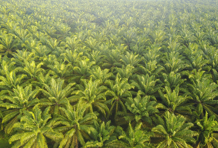 Photo for Aerial view of Palm Plantation at South East Asia - Royalty Free Image