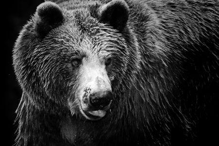 Photo pour Black and white portrait of an imposing bear - image libre de droit