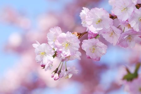 Photo for Closeup of pink cherry blossoms - Royalty Free Image