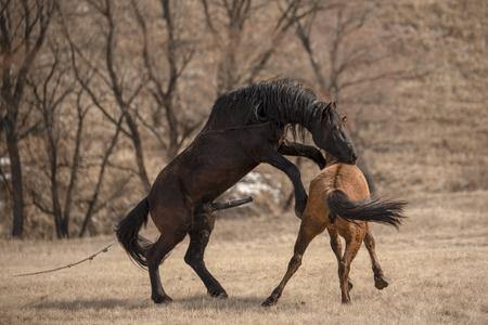 Photo pour Horses having sex on the meadow - image libre de droit