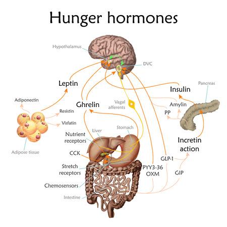 Foto für Appetite and hunger hormones vector diagram illustration. - Lizenzfreies Bild