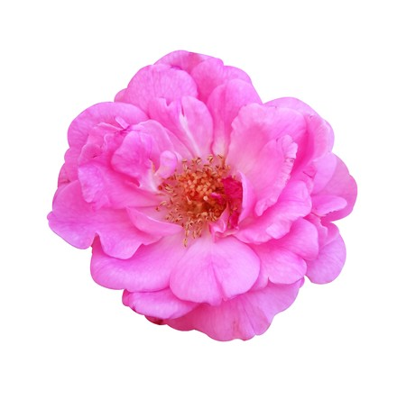 Photo for pink damask rose flower on white background - Royalty Free Image