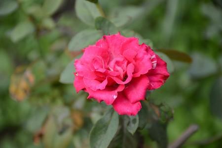 Photo for pink damask rose flower in garden - Royalty Free Image