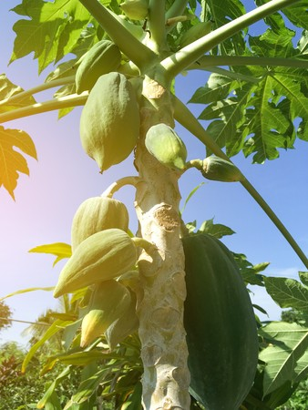 Photo for green papaya tree in fruit garden at country farm - Royalty Free Image
