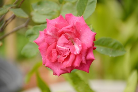 Photo for pink damask rose flower in nature garden - Royalty Free Image