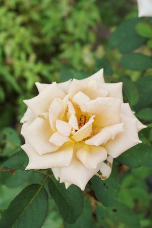 Photo for yellow damask rose flower in garden - Royalty Free Image