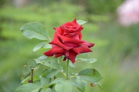 Photo for red damask rose flower in nature garden - Royalty Free Image