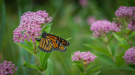 Photo for Monarch butterfly on a flower - Royalty Free Image