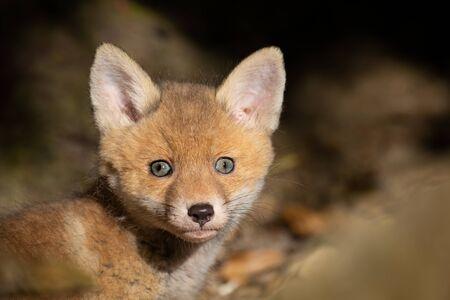 Photo pour Baby Fox - image libre de droit