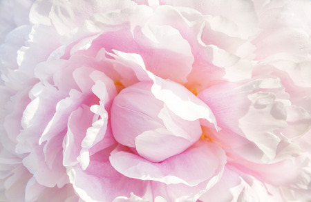 Photo pour pink peony macro - image libre de droit