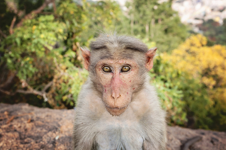 Foto de Rhesus Macaque little monkey at Arunachala mountain in Tiruvannamalai, Tamil Nadu, India - Imagen libre de derechos