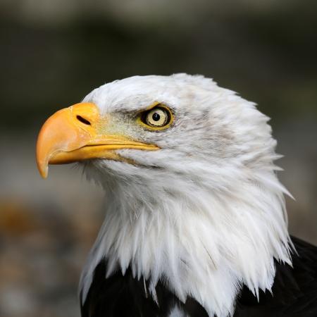 Foto de American bald eagle  - Imagen libre de derechos