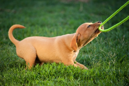 puppy dog plays with the leash in the grass