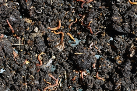 humus compost with large amount of earthworms