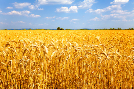 Photo for Fields of ripe yellow wheat ready for harvest. - Royalty Free Image