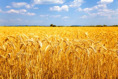 Photo pour Fields of ripe yellow wheat ready for harvest. - image libre de droit