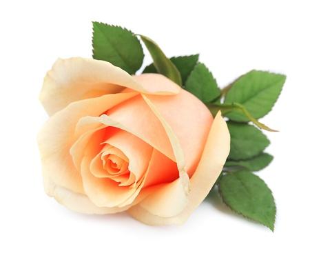 Photo for Beautiful orange rose on white - Royalty Free Image