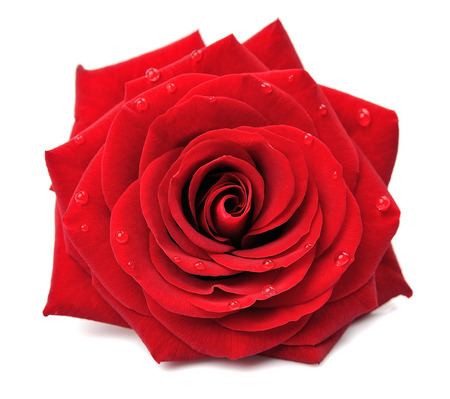 Photo pour Red rose with drops isolated on white background - image libre de droit
