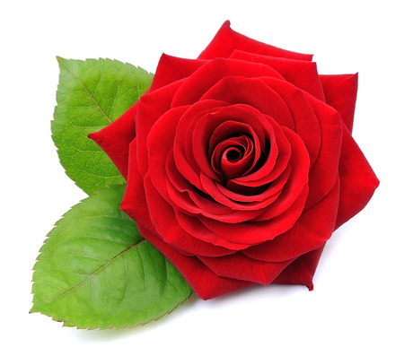 Foto per Red rose isolated on white background - Immagine Royalty Free