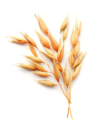 Photo for Oat plant isolated on white close up . - Royalty Free Image
