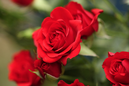 Photo pour Detail of red roses in the garden. - image libre de droit