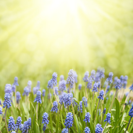 Photo pour Spring floral background. Flowers of muscari in the sun. - image libre de droit