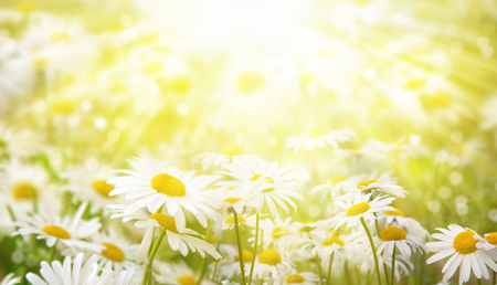 Photo pour Summer background. Daisies in the meadow are lit by the rays of the sun. - image libre de droit
