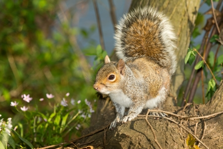 Photo for Eastern Gray Squirrel sitting on a tree stump in woodland in Maryland during the Spring - Royalty Free Image