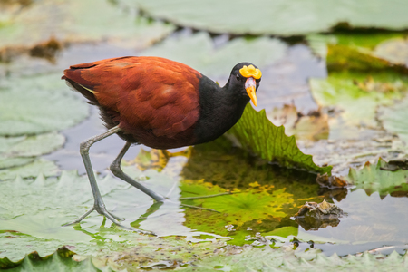 Photo pour Northern Jacana Jacana spinosa standing on a lily pad in Costa Rica - image libre de droit