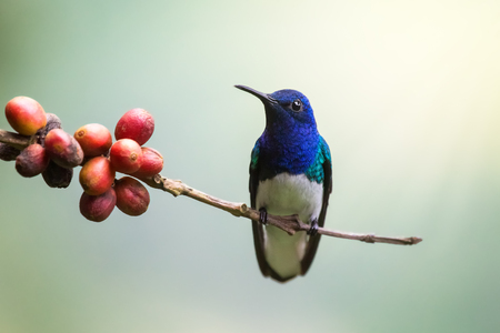 Photo pour White-necked Jacobin hummingbird Florisuga perching on a twig in Costa Rica - image libre de droit