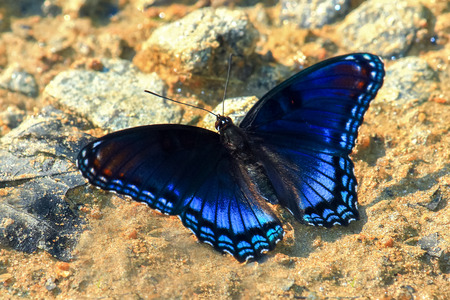 Photo pour Red-Spotted Purple butterfly Limenitis arthemis mud puddling for minerals in Maryland during the Summer - image libre de droit