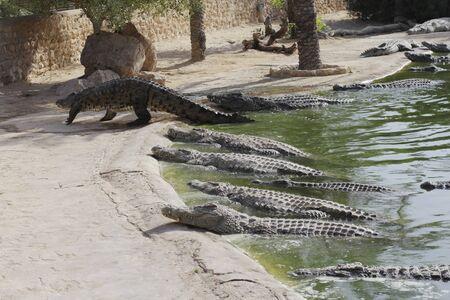 Foto de Crocodiles bask in the sun. Crocodiles in the pond. One crocodile comes out of the pond. Crocodile farm. Cultivation of crocodiles. Crocodile sharp teeth. - Imagen libre de derechos