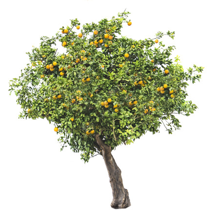 Photo pour Orange tree on white background - image libre de droit