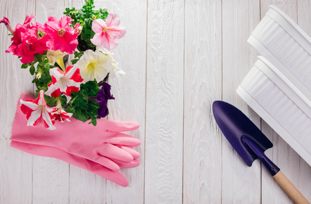 Foto de Transplanting petunias on white wooden background. Gardening concept. Gardening concept. Pots and shovel with gloves and flowers on table - Imagen libre de derechos