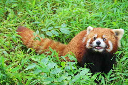 Photo for The Red Panda, Firefox in Chengdu. China. - Royalty Free Image