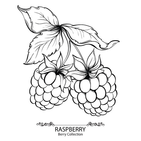 Illustration for Raspberry. Vector illustration of ink hand drawn berry - Royalty Free Image