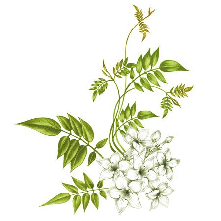 Illustration pour Jasmine flowers isolated on white background. Design for fabrics, textiles, paper, wallpaper, web. Vintage. - image libre de droit