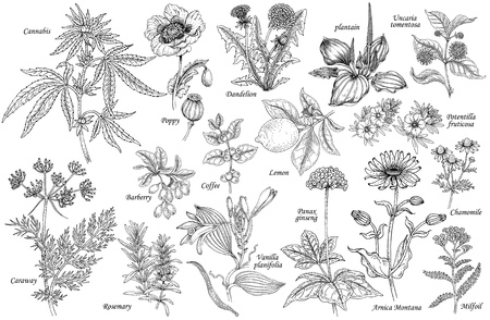 Illustration pour Set of vector medicinal herbs, flowers, plants, spices, fruits. Illustration of Cannabis, Poppy, dandelion, plantain, cumin, barberry, rosemary, vanilla, coffee, ginseng, chamomile, lemon, milfoil. - image libre de droit