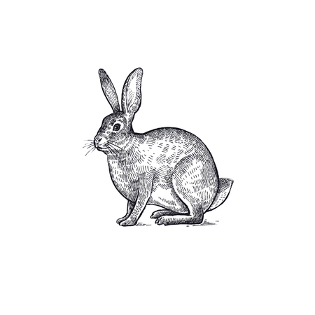 Forest animal hare or rabbit. Hand drawing sketch black ink isolated on white background. Vector art illustration. Vintage engraving style. Nature objects of Wildlife mammals.