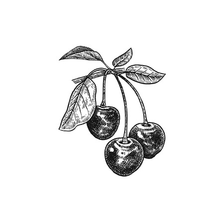 Ilustración de Cherry. Realistic vector illustration berries. Hand drawing fruit, leaf, branch isolated on white background. For decoration of cosmetics, foods, products for health, beauty. Vintage black and white - Imagen libre de derechos