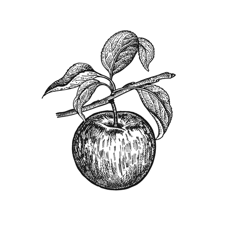 Illustration for Apple. Realistic vector illustration plant. Hand drawing. Fruit, leaf, branch of tree isolated on white background. Decoration for products for health and beauty. Vintage black white engraving - Royalty Free Image