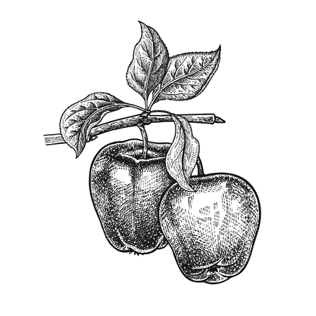 Ilustración de Realistic vector illustration of apple. Fruit, leaf, branch of tree isolated on white background. Decoration for products for health and beauty vintage black white engraving - Imagen libre de derechos