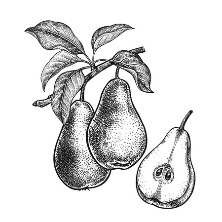 Ilustración de Pears. Realistic vector illustration plant. Hand drawing. Fruit, leaf, branch of tree isolated on white background. Decoration for products for health and beauty. Vintage black white engraving. - Imagen libre de derechos